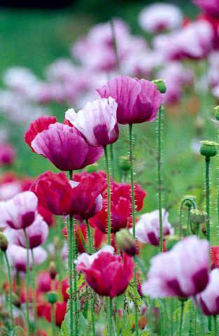 Foto Kunstdruck Bluhende Mohnblume 1 Von M Werner F1 Online Auf Glossy Normal Mohnblume Mohn Blumen