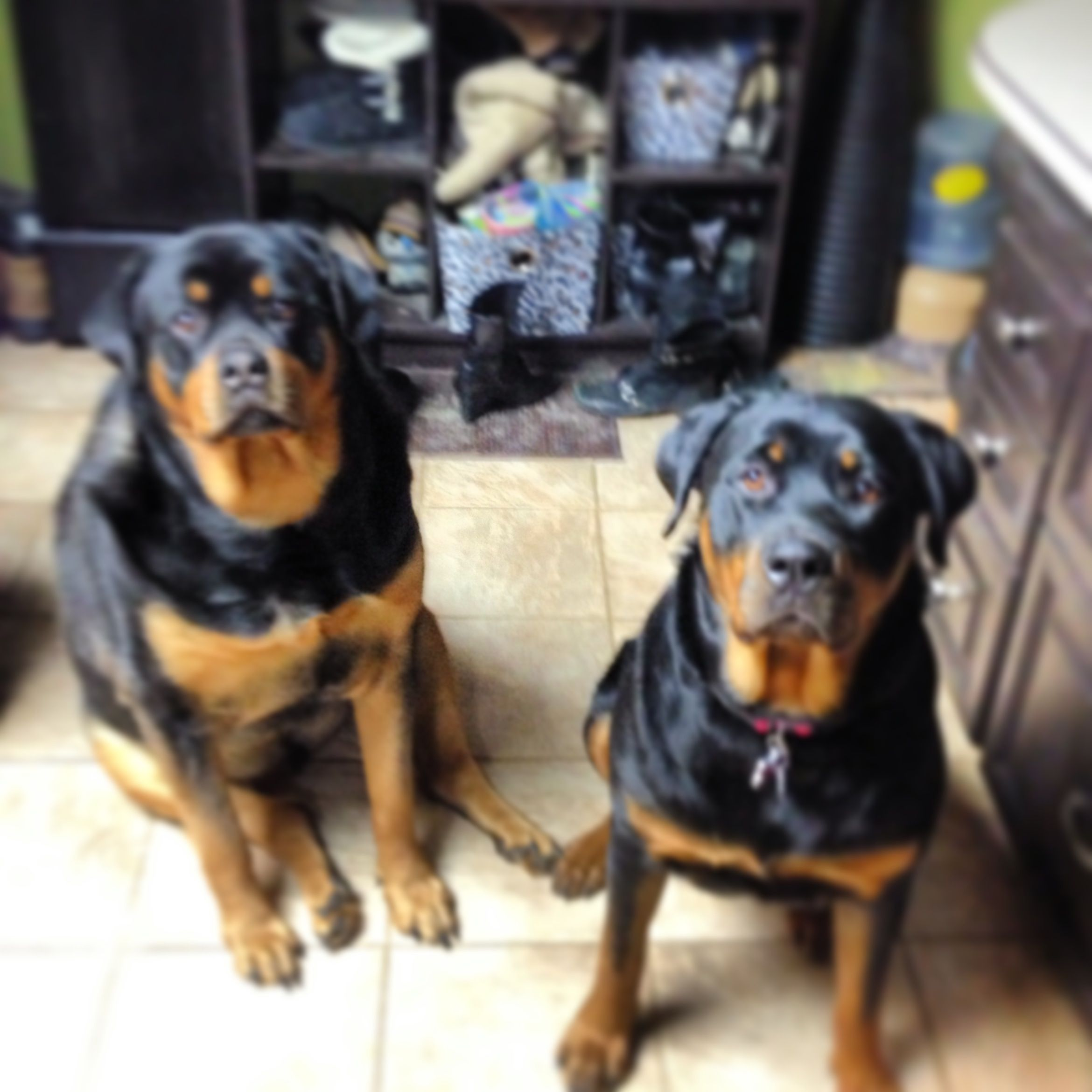 Leo And Persia Buddies Rottweiler Animals Dogs