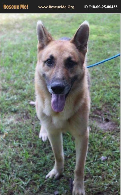 German Shepherd For Adoption In Winston Salem North Carolina