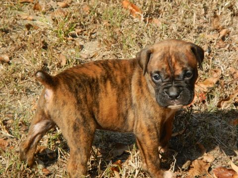 Litter Of 7 Boxer Puppies For Sale In Beech Island Sc Adn 55081
