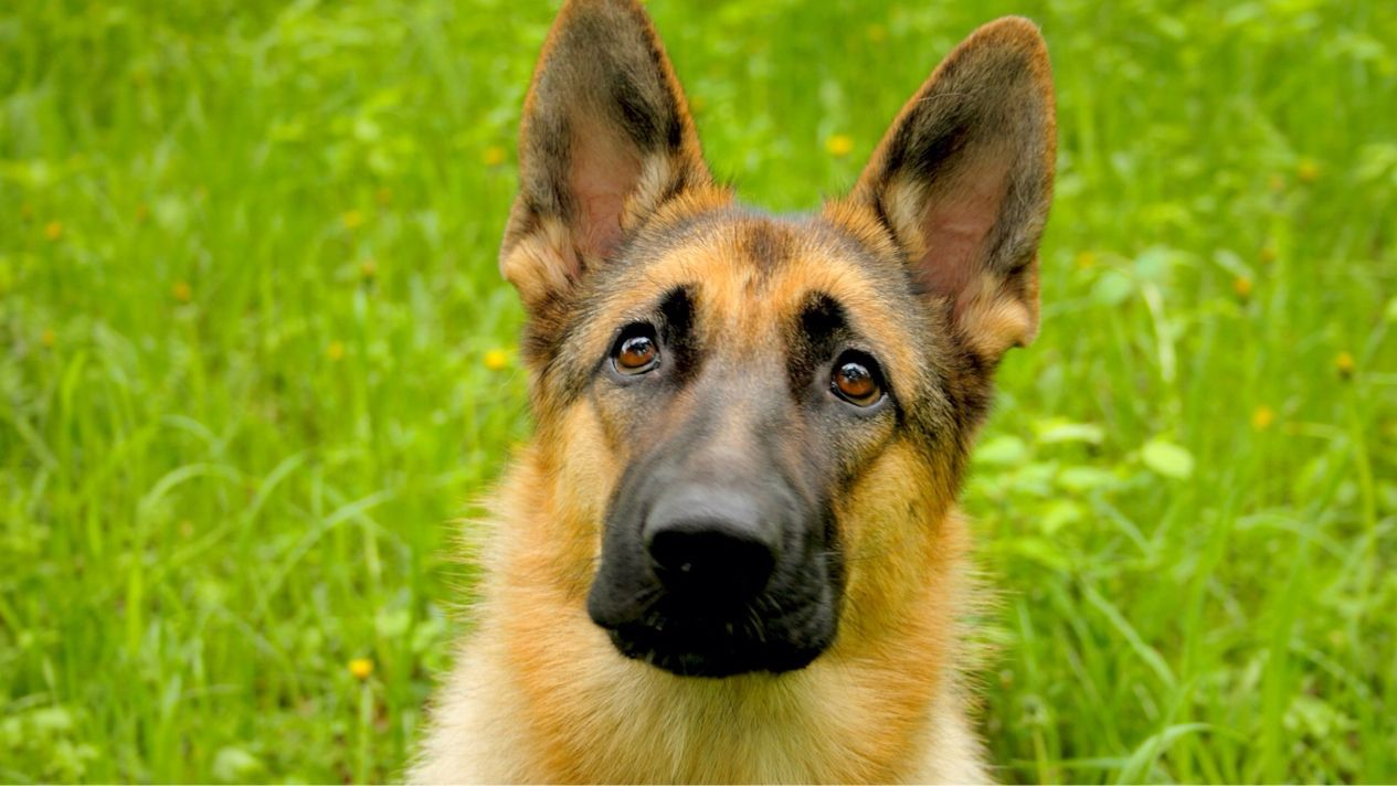 Top10 razas de perros ms populares en el mundo 2 pastor german shepherd dog breed growth chart names info nvjuhfo Choice Image
