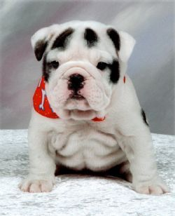 English Bulldog Breed Information Pictures Bulldog British