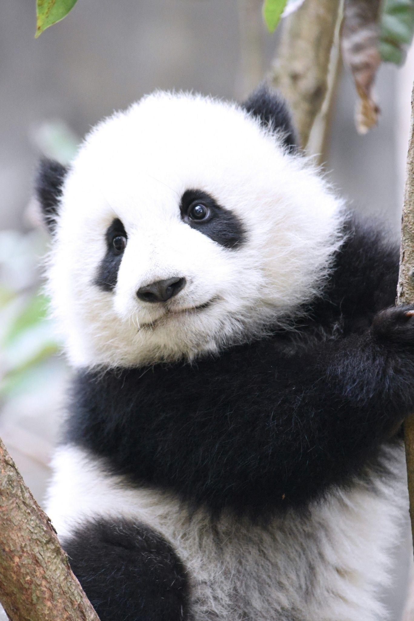 окрестностях фото с пандами милые караулит