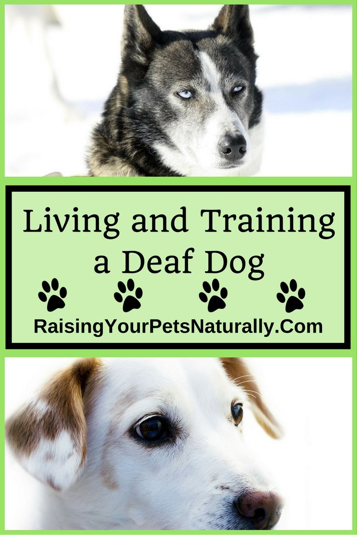 Deaf Dogs And How To Train A Deaf Dog For The Love Of Dog