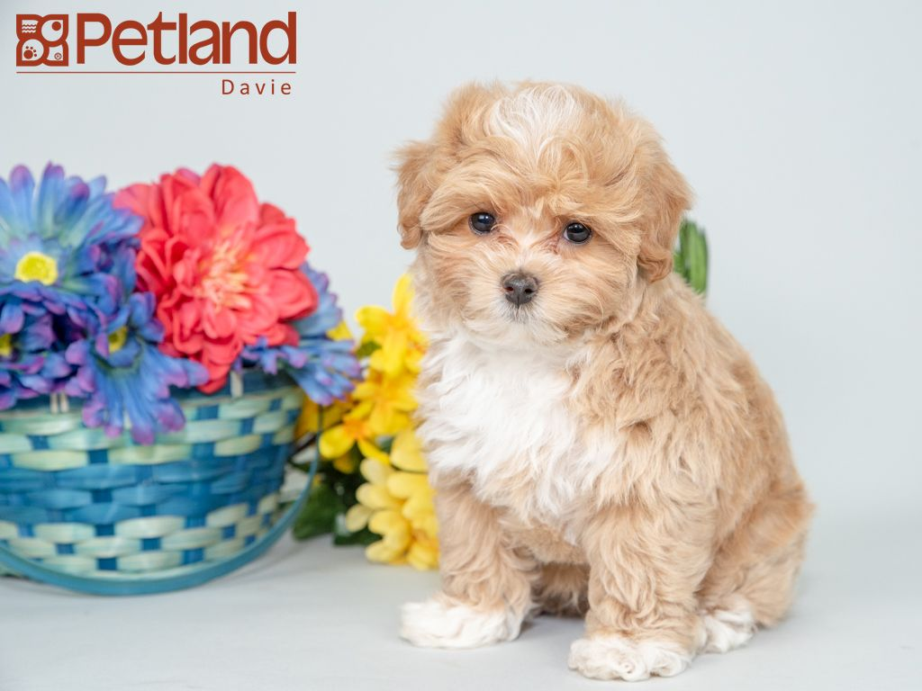 Petland Florida Has Maltipoo Puppies For Sale Interested In Finding Out More About This Breed Check Ou Puppy Friends Maltipoo Puppy Maltipoo Puppies For Sale