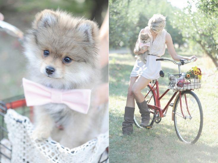 vintage_apple_orchard_engagement_pomeranian_puppy