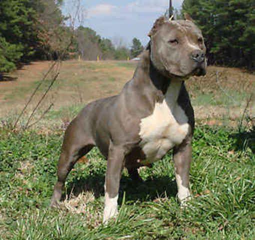 Pitbull Pitbull Terrier American Pitbull Terrier Pitbull Dog