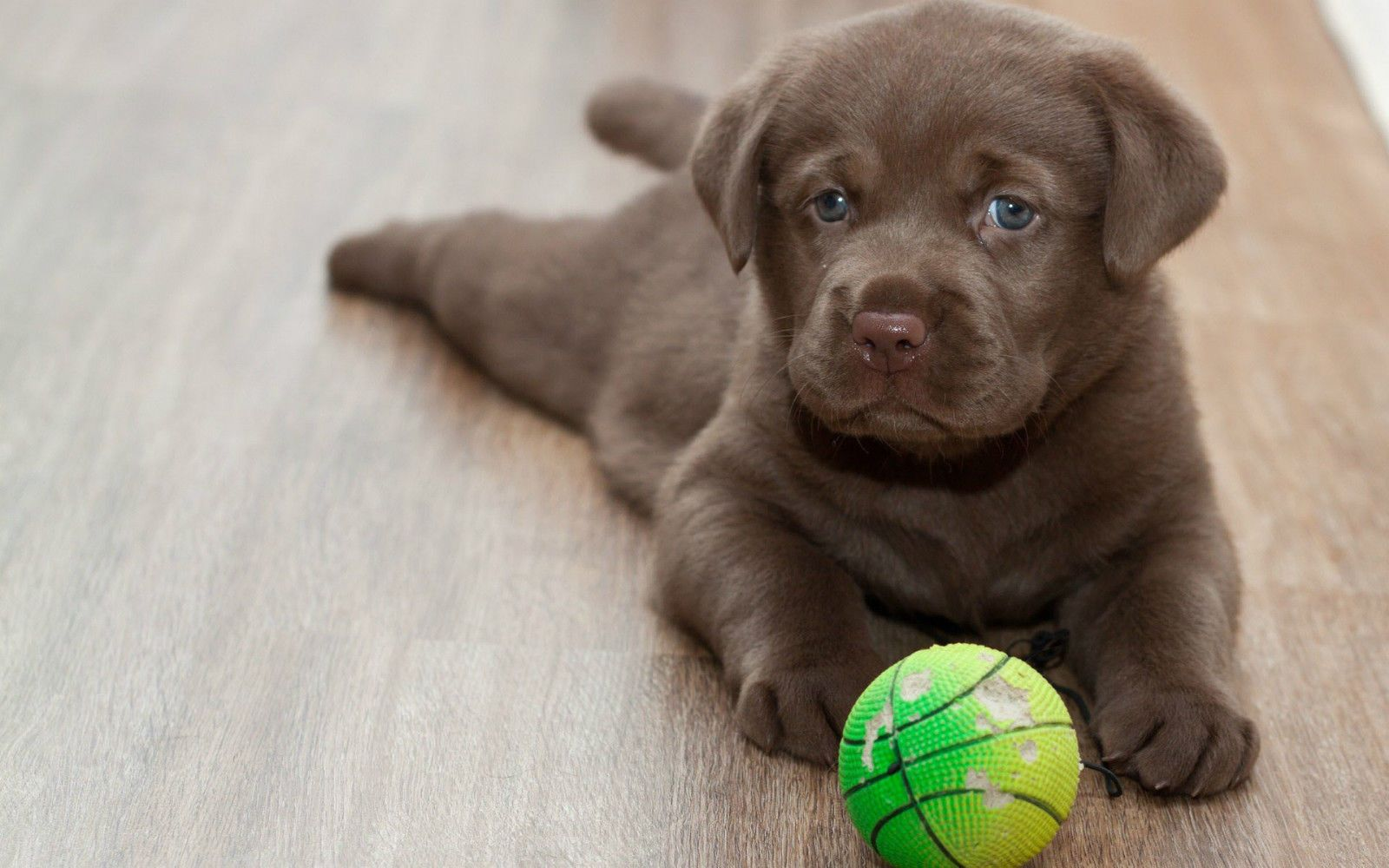 Free Labrador Puppies To Good Home Ideas