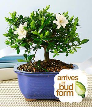 Gardenia Bonsai Proflowers Com 50 Mothers Day Plants Indoor