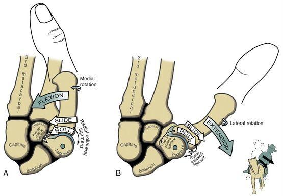 Thumb flexion/extension arthrokinematics | Anatomie /Physiologie ...