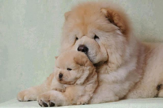 Chow Chow Mother With Her Little Puppy Dogs Cute Dogs Cute Puppies