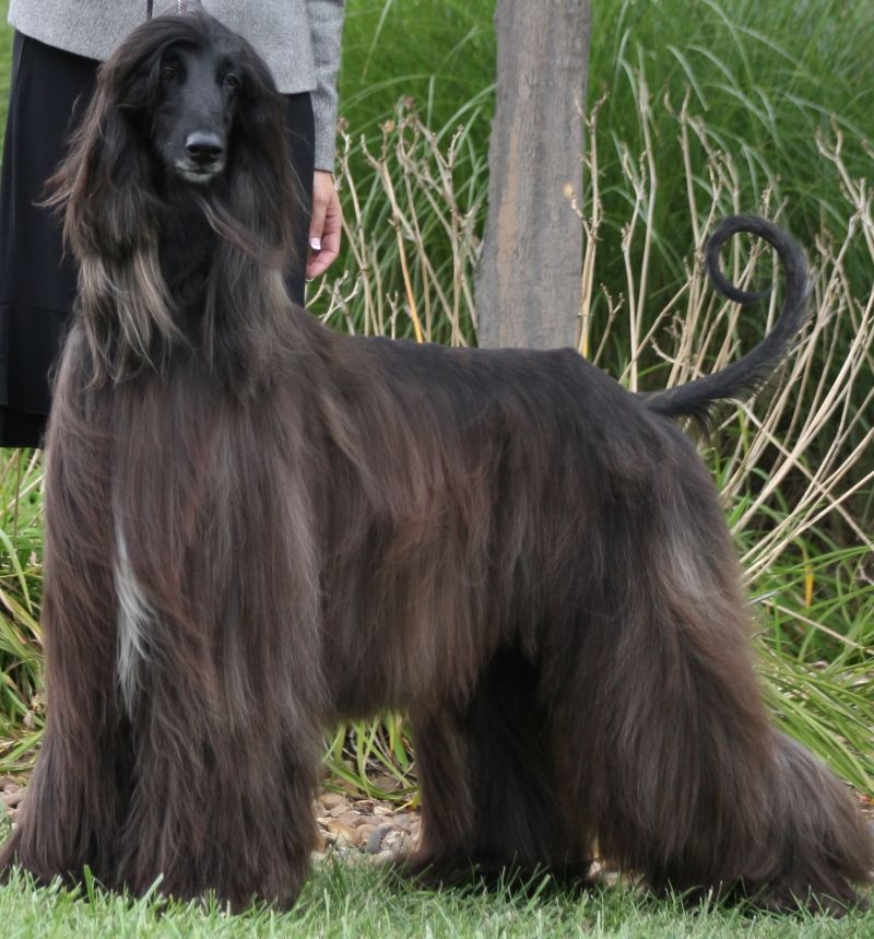 Welcome To Jolie Afghan Hounds Breeders Of Akc Conformation Show