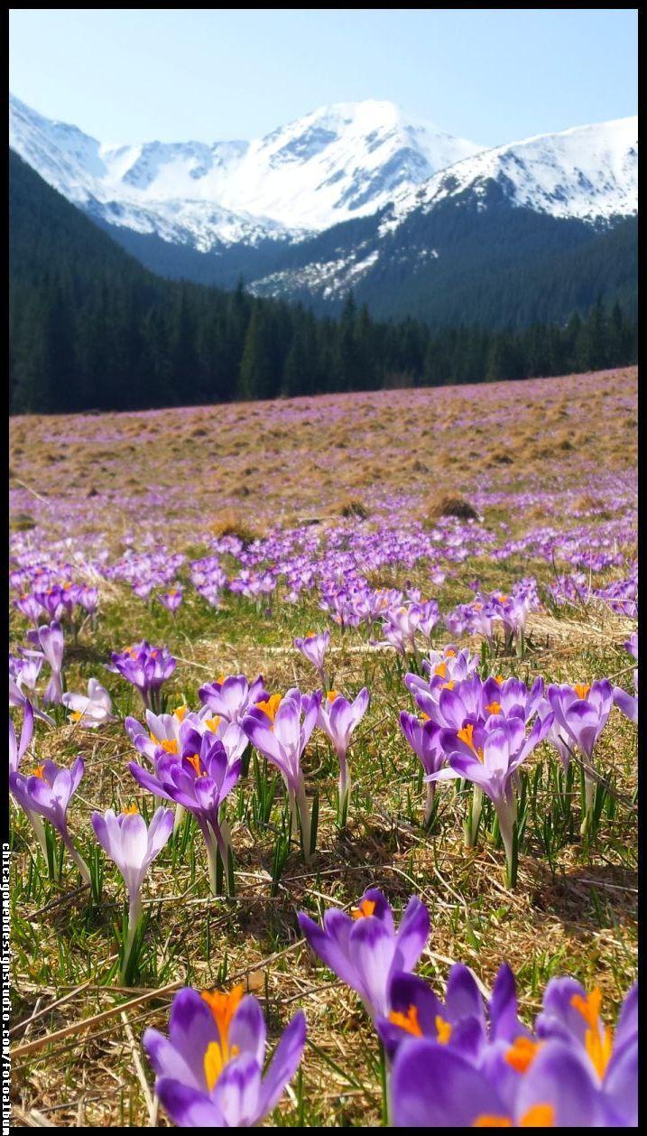 Krokusy W Dolinie Chocholowskiej Beautiful Nature Beautiful Gardens Nature
