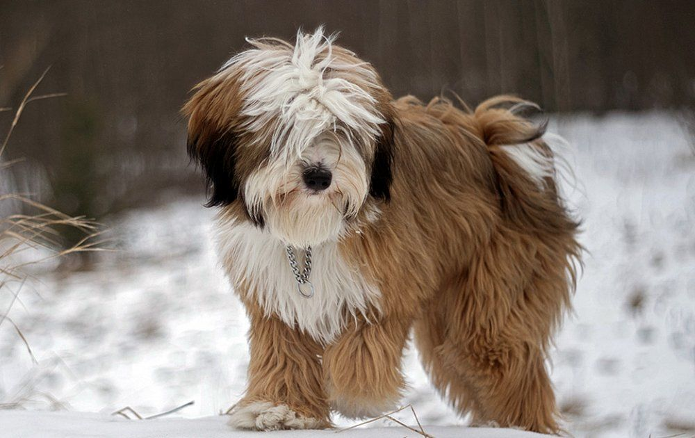 Best Dog Stuff For Tibetan Terrier Tibetan Terrier Dog Breeds