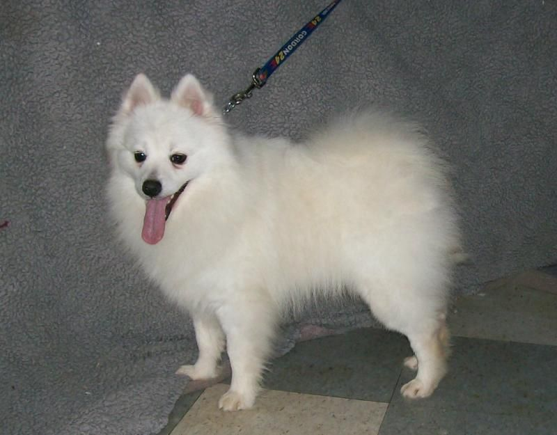 Intelligent Alert And Friendly The American Eskimo Dog Is Also