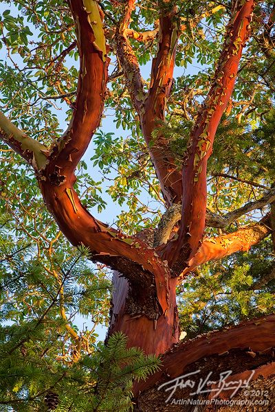 Serenity In The San Juan Islands Arbutus Tree Landscape Trees Unique Trees