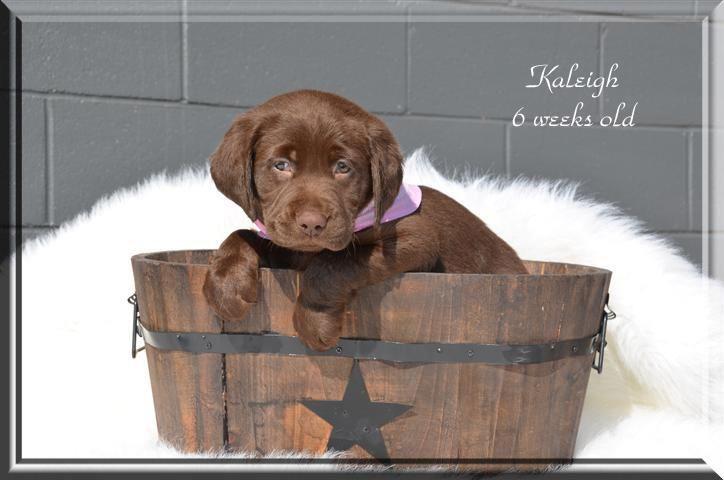 6 Week Old Kaleigh Horizon Labradors Canon Ga Labrador Labrador Retriever Food Animals