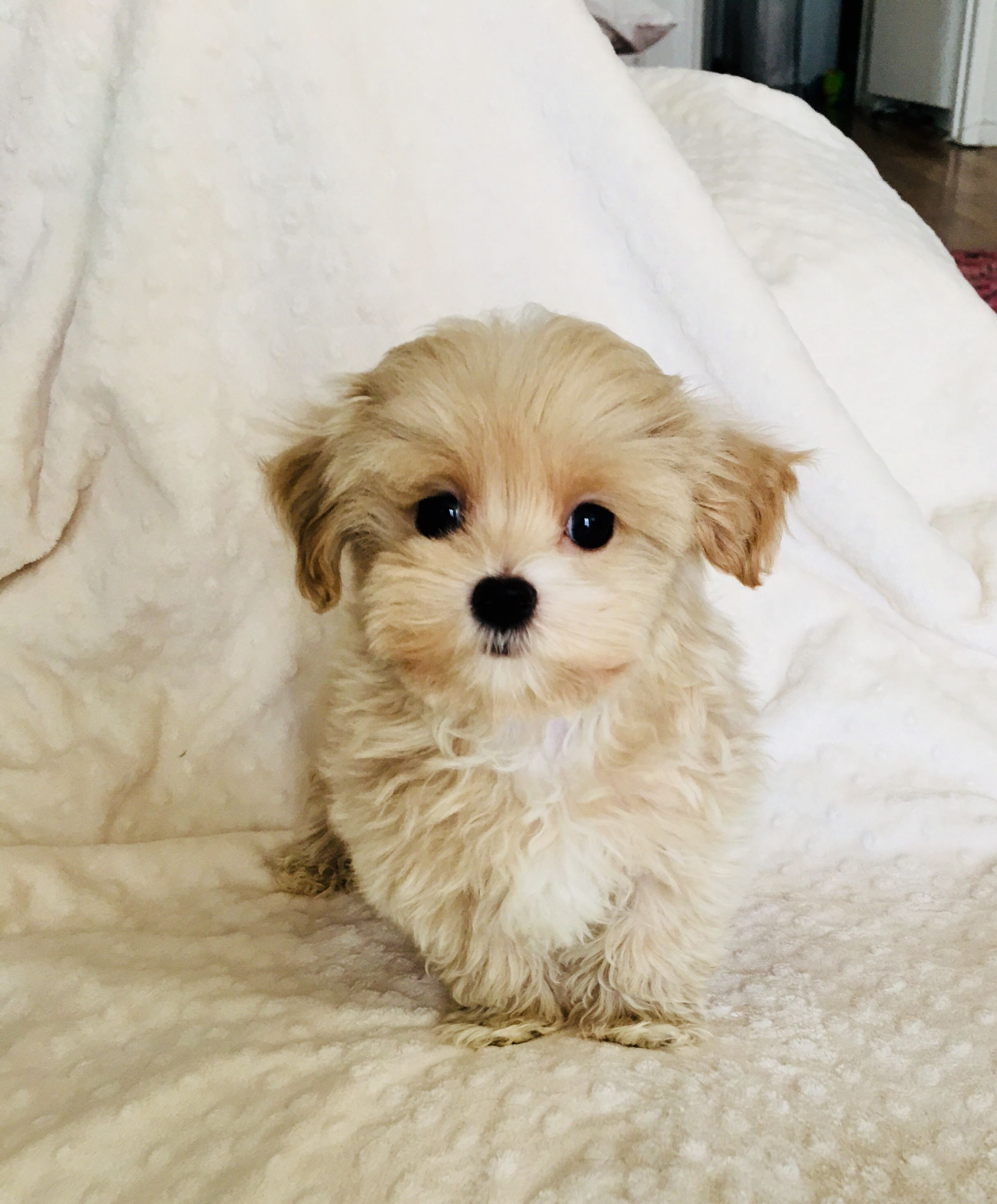 Iheartteacups We Have Beautiful And Tiny Teacup And Micro Mini Sized Tea Puppies For Sale In California We Speciali Morkie Puppies Puppies Shorkie Puppies