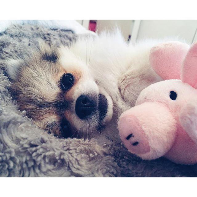 Лолли и любимая хрюшка  ・・・ #pom #pompom #lollypom #pomeranian #dog #puppy #instadog #instadogs #animal #instapuppy #instapom #fluffy #cute #petsofinstagram #puppies #instapet #spitz #spitznain #pompome #dogstagram #instacute #instaanimal #doggy #instadog #picofday #picoftheday #шпицевмногонебывает #шпиц