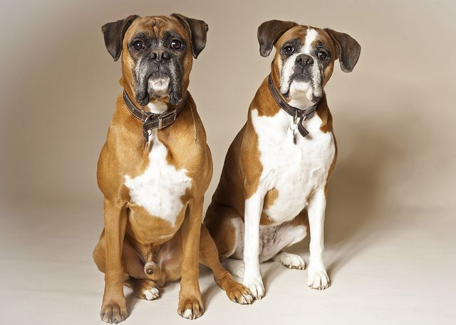 The Male Vs Female Dog Debate Chasing Dog Tales Female Boxer Dog Boxer Dogs American Boxer Dog