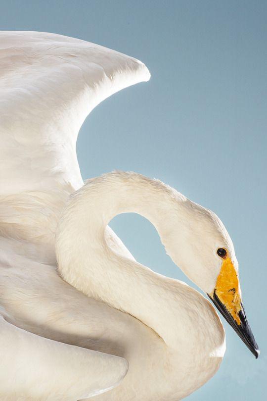 May 3, 2014 - Swan 2014©Barbara O'Brien Photography