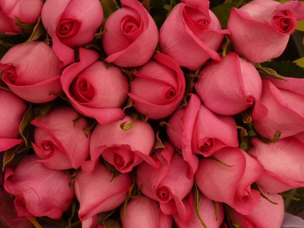 Beautiful Roses HD Wallpaper Red Rose Pink White Yellow Purple Wallpapers Images Photos Pictures Latest