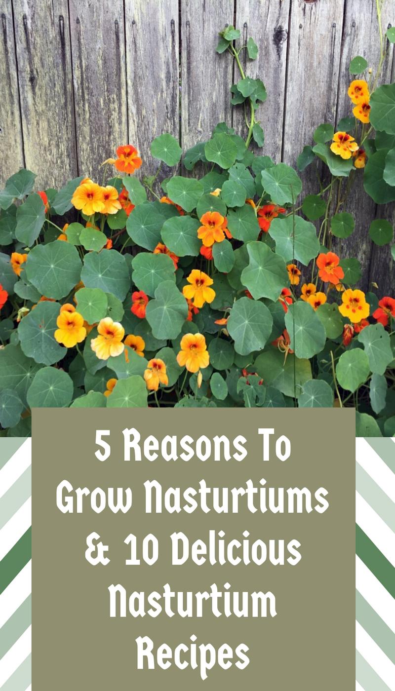 5 Reasons To Grow Nasturtiums 10 Delicious Nasturtium Recipes In 2020 Nasturtium Edible Gardening Landscape Edible Garden