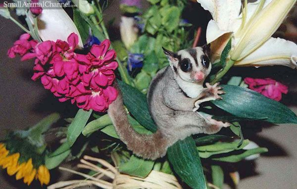 12 common medical problems with Sugar Gliders