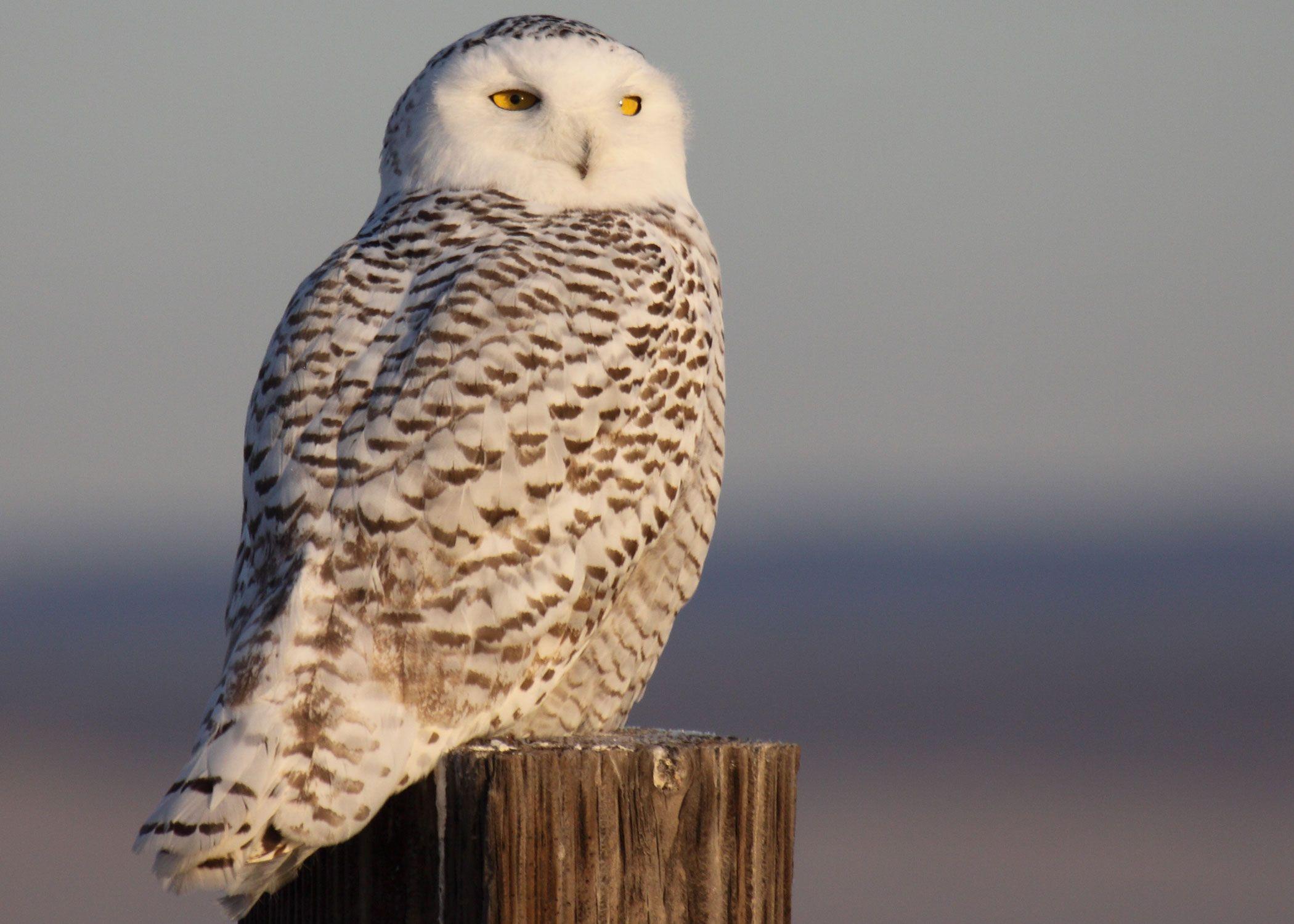 snow owls snowy owl photographed near burns oregon in december