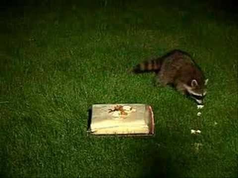 The Raccoon Song