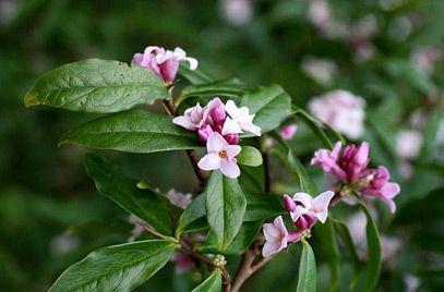 RHS Plant Selector Daphne bholua 'Jacqueline Postill' AGM ...
