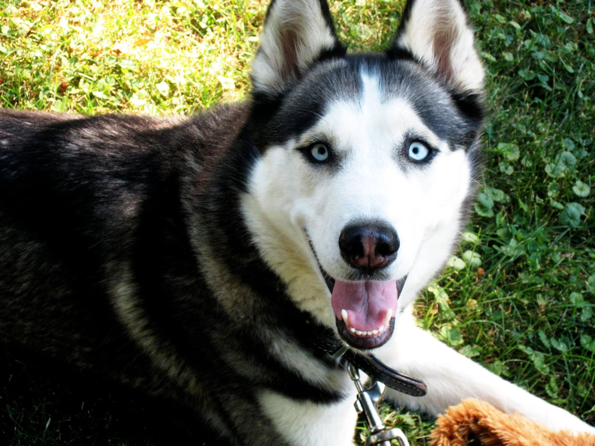 Husky puppies moving in pregnant mothers belly smile files husky puppies moving in pregnant mothers belly nvjuhfo Choice Image