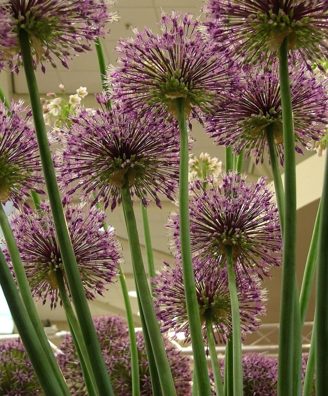 Allium Early Emperor Plants Beautiful Flowers Garden Inspiration