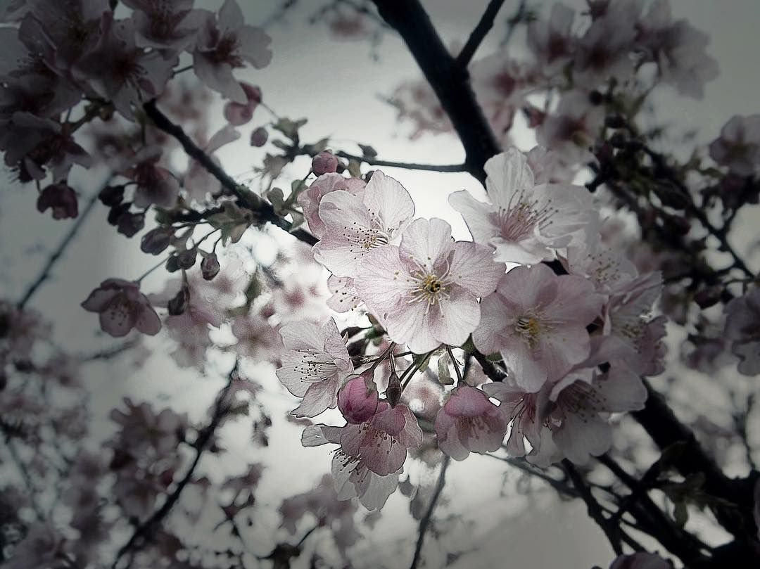 Akie On Instagram Cherry Blossoms In Japan The Early Blooming Cherry Trees Are Already Flowering Feel Cherry Flower Cherry Blossom Japan Japanese Flowers