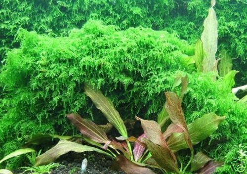 Live Aquarium Plant Fish Fern Tank Java Q Xmas Moss