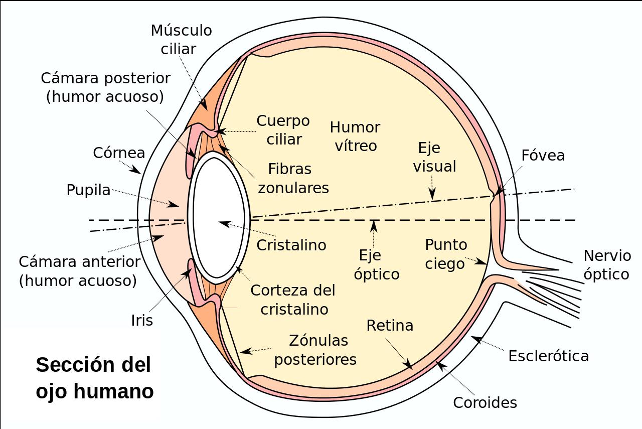 Esquema Del Ojo Anatomia Del Ojo Ojo Humano Anatomia Ojos