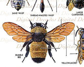 Bee illustration vintage scientific google search ink bee illustration vintage scientific google search ccuart Gallery