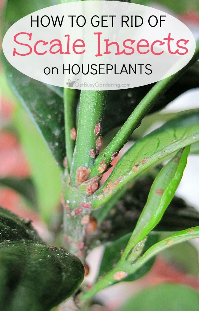 How To Get Rid Of Scale Insects On Houseplants Scale Insects Garden Pests Houseplants