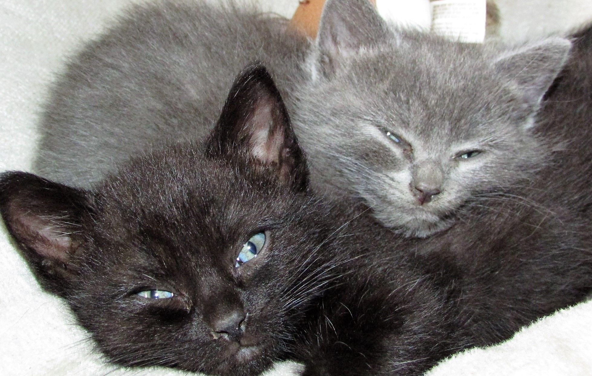 Smokey And Bandit As Kittens They Came To Us Flea Infested And Sick But Are Thriving Now