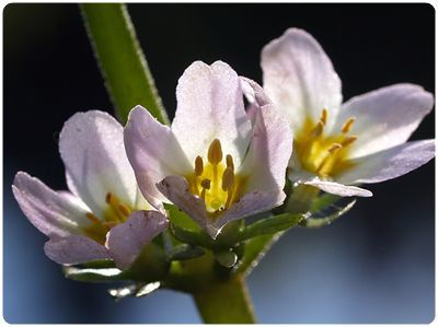 Flores De Bach Water Violet Violeta De Agua Flower Essences Flower Essences Remedies Bach Flower Remedies