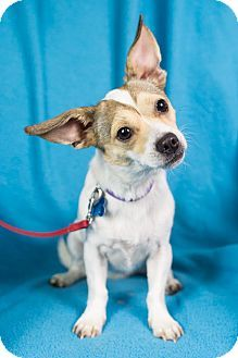 Find a Pet to Adopt Rat terrier mix, Pets, Terrier mix dogs