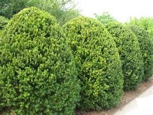 Hicks Yews Bing Images Plants Yew Shrub Side Garden