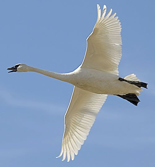 Aninimal Book: Swan, flying overhead. A good sign.   Swans   Trumpeter ...