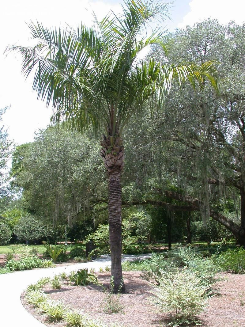 Full Size Picture Of Mule Palm X Butiagrus Nabonnandii