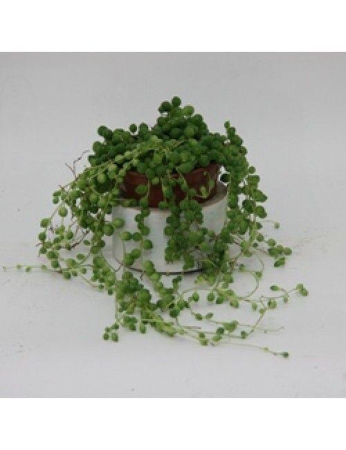 Sukkulenten Zimmerpflanzen erbsenpflanze perlenschnur hängendes k sukkulenten