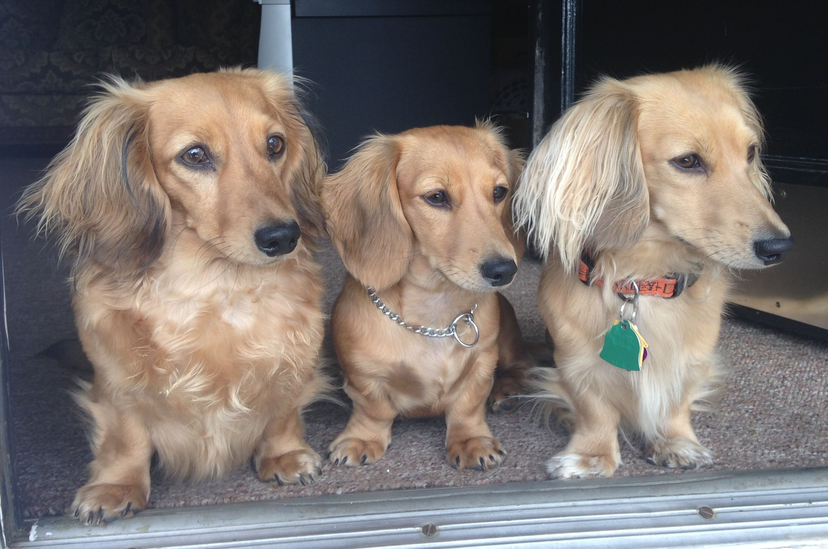 Longhaired Miniature English Shaded Cream Dachshunds Bella Left Beau Right And Their Daughter Beatrix Cream Dachshund Dachshund Dachshund Love