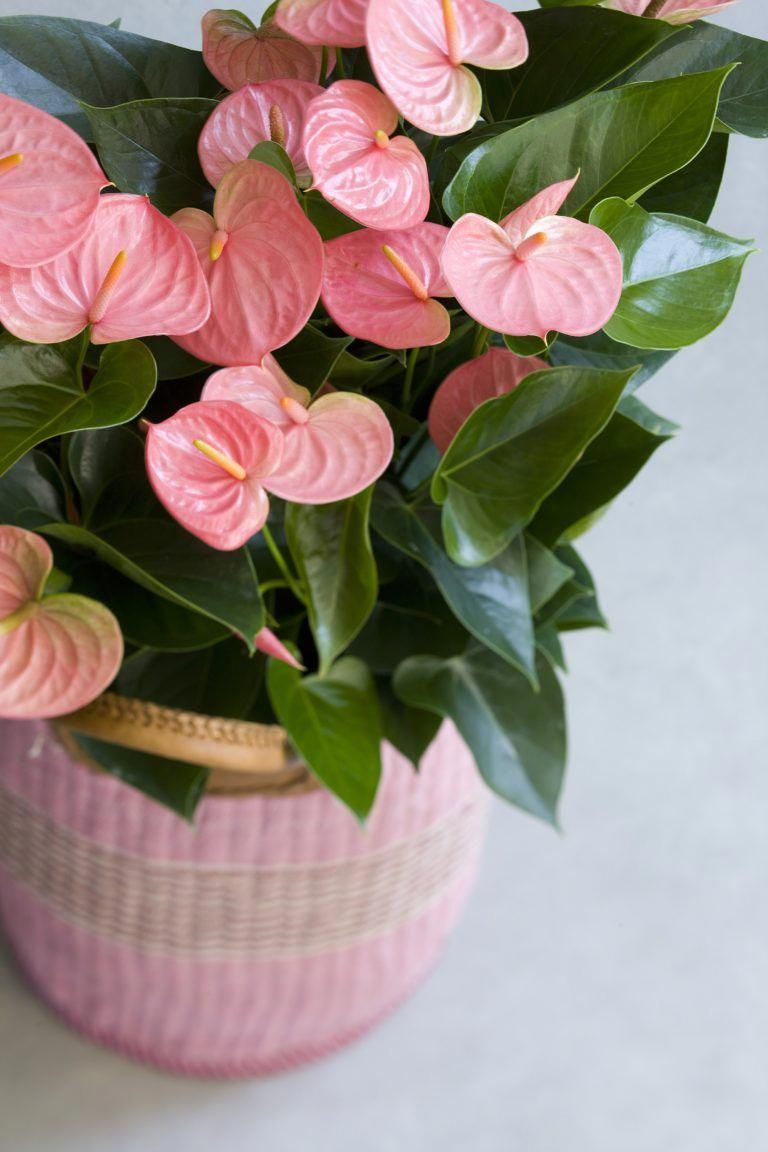 Changing Anthurium Color Reasons For An Anthurium Turning Green Anthurium Flower Anthurium Plant Flower Pots