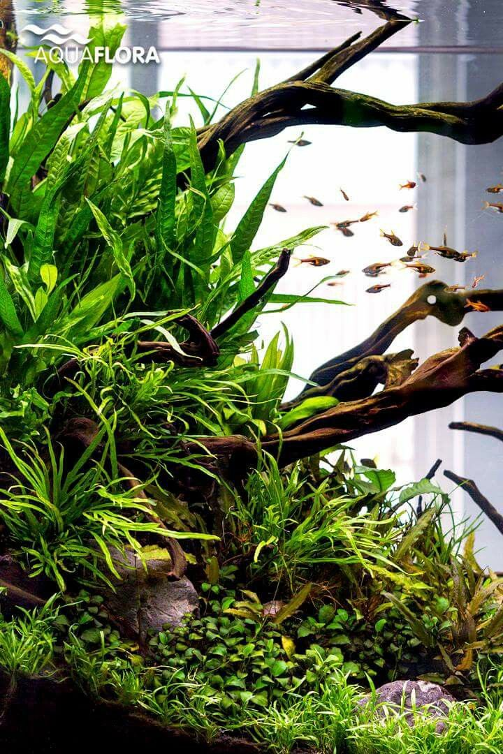 Greenland natural and peaceful aquaflora for Planted fish tank
