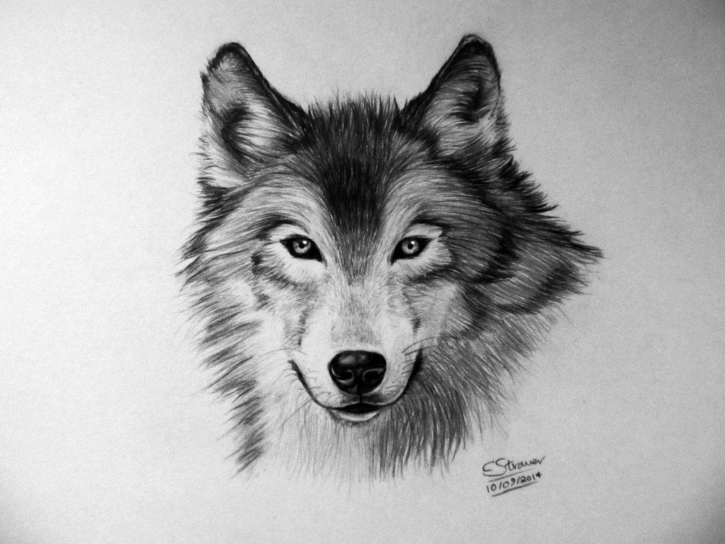 Here's My Drawing Of A Wolf I Worked On This For A Tutorial