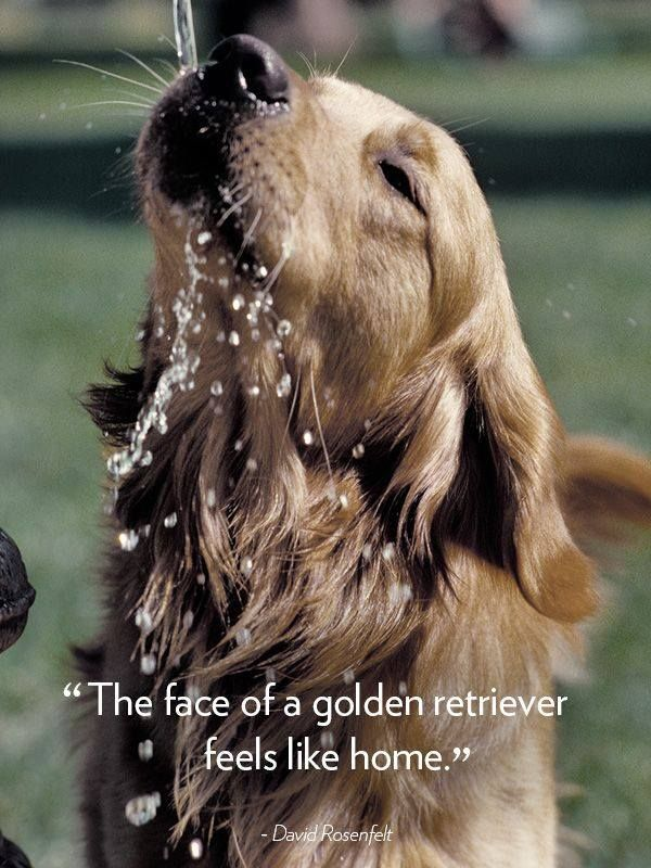 The face of a golden retriever feels like home